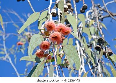 Bees pollinating pink gumtree (Eucalyptus) flowers under bright blue skies in Western Australia