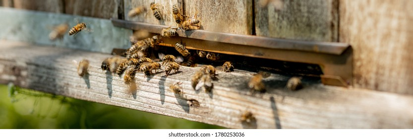 A lot of bees returning to bee hive and entering beehive with collected floral nectar and flower pollen. Swarm of bees collecting nectar from flowers. Healthy organic farm honey
