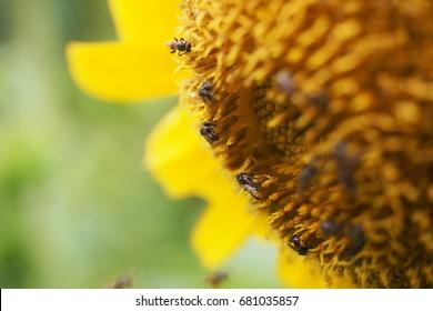 bees sucking nectar from a sunflower pollen