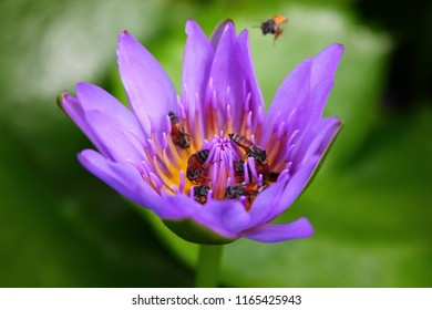 bees are sucking sweet pollen in purple lotus