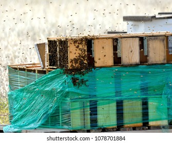 Bees swarm to new boxes that are on nearby pallets.