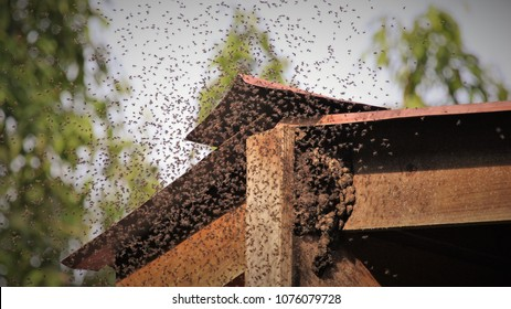 bees swarming hive