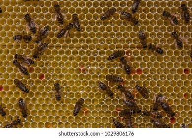 Bees take nectar from honeycomb to transform it into honey.