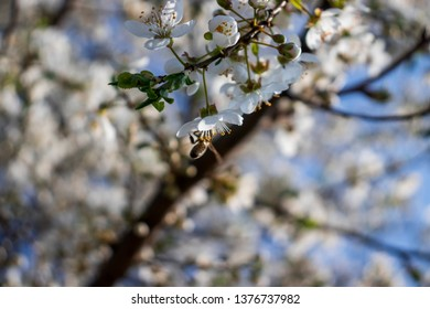 Bees taking caro of the blooming cherry