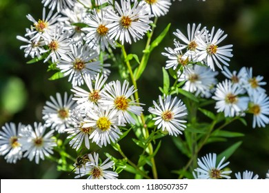 The bees were loving this wild white aster