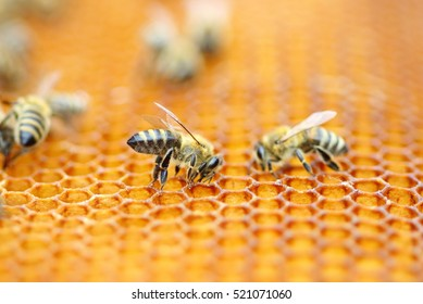 Bees workers on honeycomb