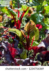 Beet greens or red purple chard in the permaculture garden.