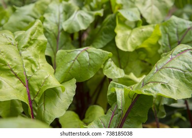 The beet leaves. Beets are a tasty and healthy root vegetable. Beetroot contains many vitamins.