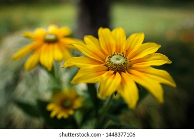 Beet plant Rudbeckia in nature Environment
