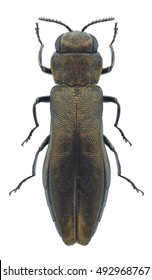 Beetle Agrilus salicis on a white background