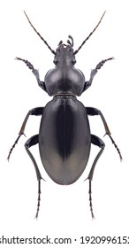 Beetle Carabus impressus on a white background