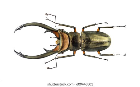 Beetle cyclommatus elaphus, isolated on white