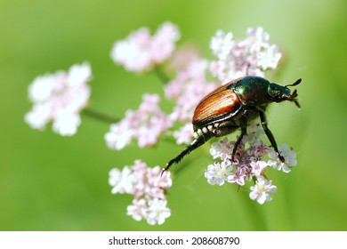 Beetle Delicately Balancing on a Flower in the Wind