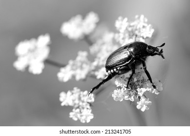 Beetle Delicately Balancing on a Flower in the Wind (Black and White)