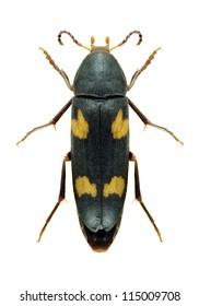 Beetle Dircea quadriguttata on a white background