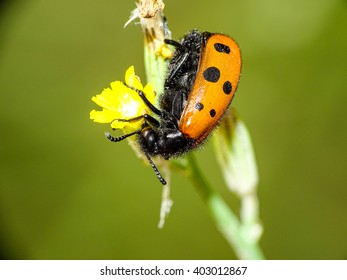 Beetle eating from flower