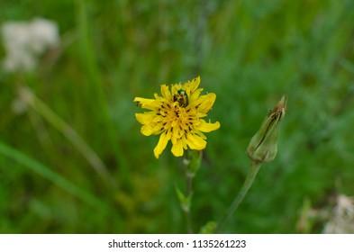 beetle in flower