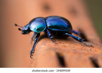 Beetle - Geotrupes stercorarius - blue-black specie of earth-boring dung beetles.