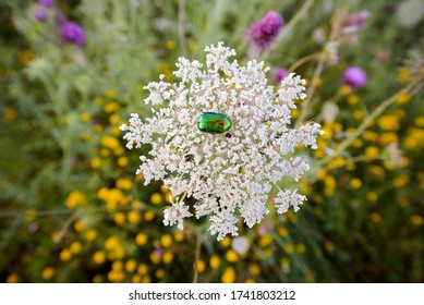 Beetle green rose chafer collects nectar on rowan flowers