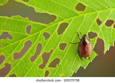A beetle has eaten many holes in the leaf he is sitting on.