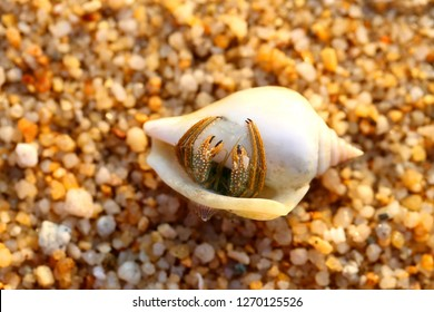 Beetle hermit crab in the shell on the sand