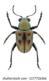 Beetle Heteraspis dillwyni on a white background
