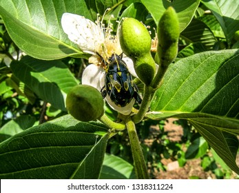 beetle Insect in flower and fig fruits in a commercial fig tree in Jundiai, Sao Paulo State, Brazil