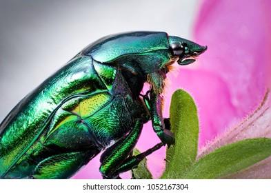 Beetle Insest Cetonia Aurata