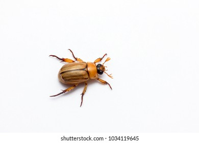 beetle with isolated white background.