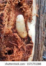 The beetle larvae that are used for cooking