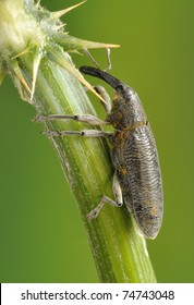 Beetle Lixus scolopax on the plant