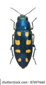 Beetle Metallic wood borer Buprestis octopunctata (female) on a white background