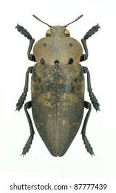 Beetle Metallic wood borer Capnodis porosa porosa on a white background