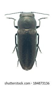 Beetle metallic wood borer Sphenoptera cauta palea on a white background