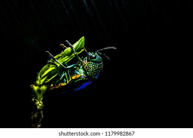 ่Jewel beetle Metallic wood-boring beetle Buprestid