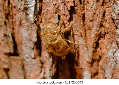 beetle metamorphose. the beetle leaves its dried outer bark on the pine tree trunk. beetle is a type of insect that has veiled wings, and can fly freely. macro photography.