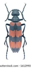 Beetle Mylabris syriaca (male) on a white background