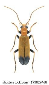 Beetle Nacerdes melanura on a white background