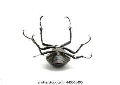 beetle on its back, stag beetle