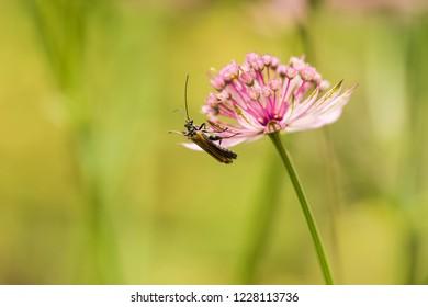 A beetle on a flower (astrantia major)