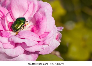 Beetle on a rose, rose beetle, rose chafer