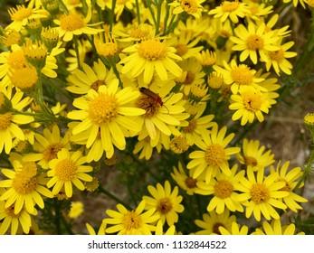 Beetle on yellow flowers, Seaton Carew Sand Dunes, Hartlepool, England