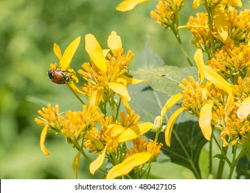 Beetle on Yellow Wild Flowers Wide Shot