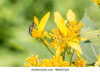 Beetle on Yellow Wild Flowers
