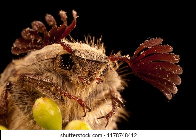 beetle sanjuanero portrait, Melolontha melolontha, Beetles, Coleoptera