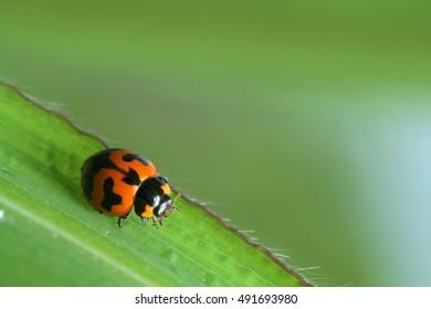 Beetle in Southeast Asia.