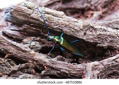 Beetle (spanish fly) on the tree