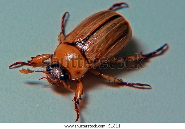 Beetle Top