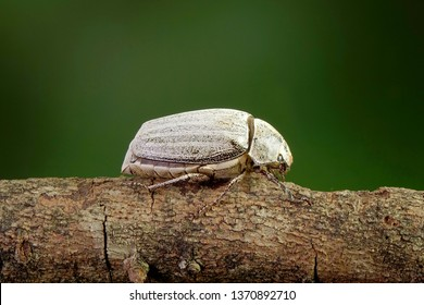 Beetle : White beetle (Lepidiota stigma Fabricius), edible beetle from southern Thailand. Edible insects live in nature. Entomophagy, other natural sources of nutrients. Exotic food