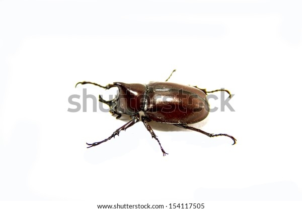Beetle wing is also known as hard or that Xylotrupes gideon